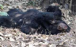 Photo shows bear cub clinging to mother electrocuted by poachers