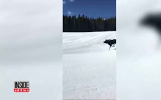 Snowboarder chased down mountain by a moose