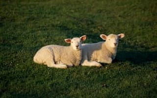 Thieves steal 160 sheep in field near Wool
