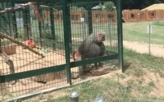Baboon throws poo in little girl's face at zoo (video)