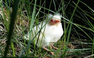 Rare 'white blackbird' spotted in Devon garden