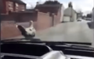 Car-surfing dove becomes internet sensation