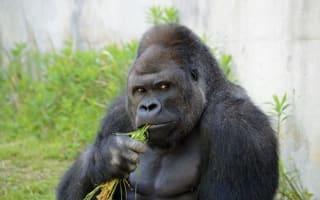 Visitors flock to see 'good looking' gorilla at Japan zoo