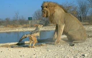 Is that a good idea?Jackal 'picks fight' with huge lion at African game park