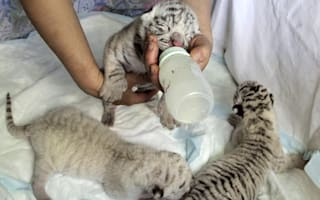 White tiger gives birth to adorable rare cubs at Ukraine zoo