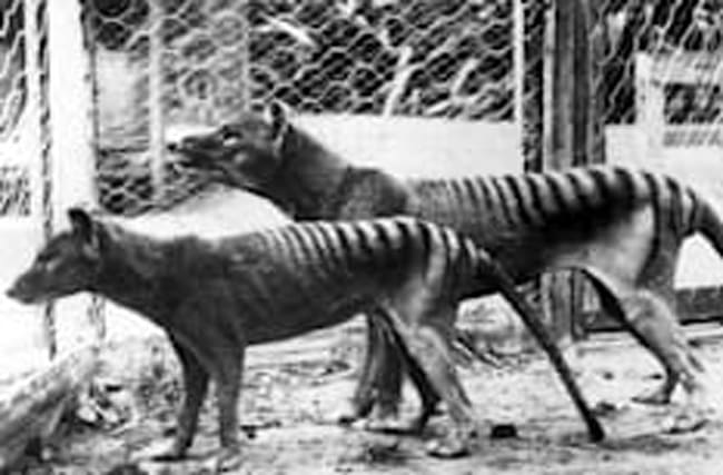 It's meant to be extinct: Tasmanian tiger 'sightings' spark search