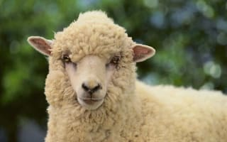 Google sheep view launched in Faroe Islands