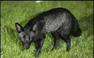 Rare black fox caught on camera in Yorkshire