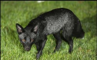 Rare black fox caught on camera in Yorkshire