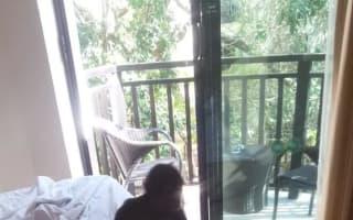 Monkey invades couple's hotel room
