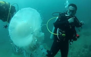 Giant jellyfish spotted by divers in Mexico