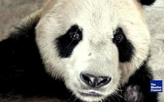 World's oldest male giant panda dies at 31