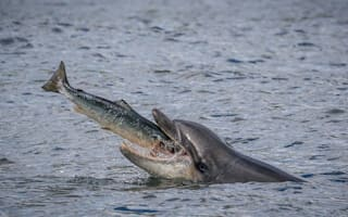 Unlucky salmon leaps into lucky dolphin's mouth