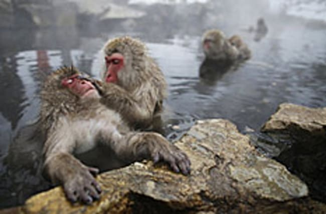 Why zoo in Japan felt the need to kill 57 snow monkeys