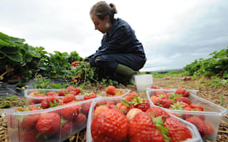 Strawberry growers eye record sales