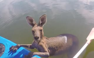 Young kangaroo rescued from canal
