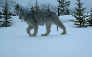 The lynx effect: Beautiful rare cat caught on camera in Canada