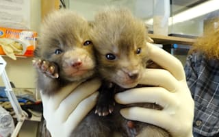Adorable baby foxes rescued after being dumped in car park