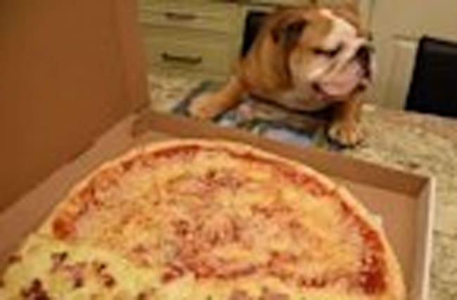 English Bulldog drools over large pizza