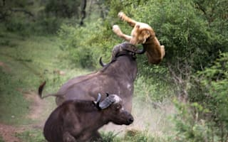 Buffalo saves friend being eaten by lions - by flinging them in the air