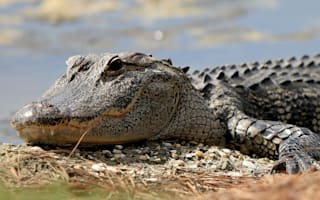 Alligator whisperer Gribble gets special gift
