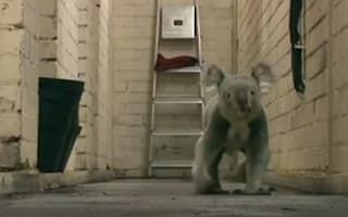 Caught on camera: Edinburgh Zoo's koala goes on the run