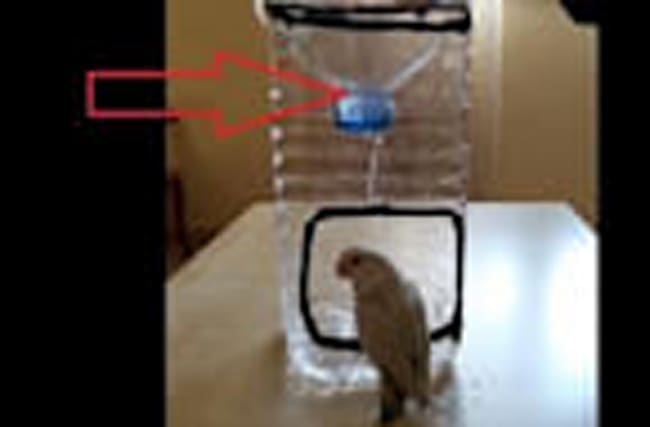 Little parrot adores his homemade shower