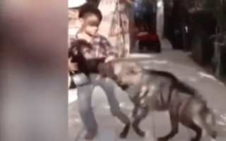 Brave boy protects baby chimp from hungry hyena (video)
