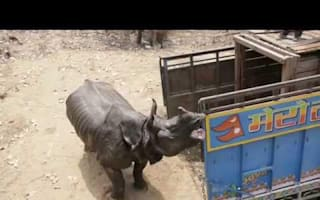Rhino charges at conservationists after release into wild