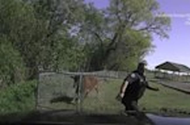 Close Call For Police Officer in Texas from Charging Cow