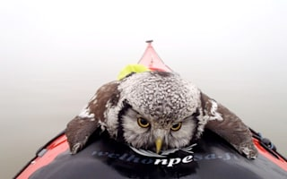 Exhausted owl takes a trip on canoe in Finland