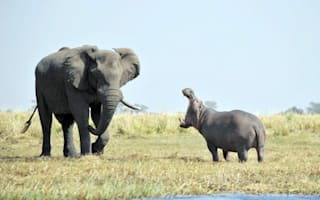 Battle of the beasts: Elephant has face-off with an angry hippo