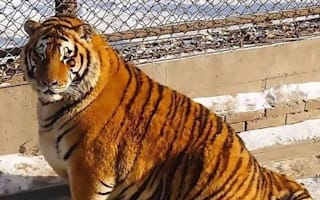 Overweight tigers become unlikely tourist attraction in China