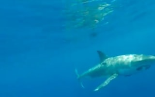 Huge five metre great white shark circles fisherman's boat (video)