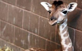 Baby giraffe born on Easter Sunday at Belfast Zoo dies