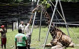 Outrage as giraffe dies after eating plastic litter thrown by tourists