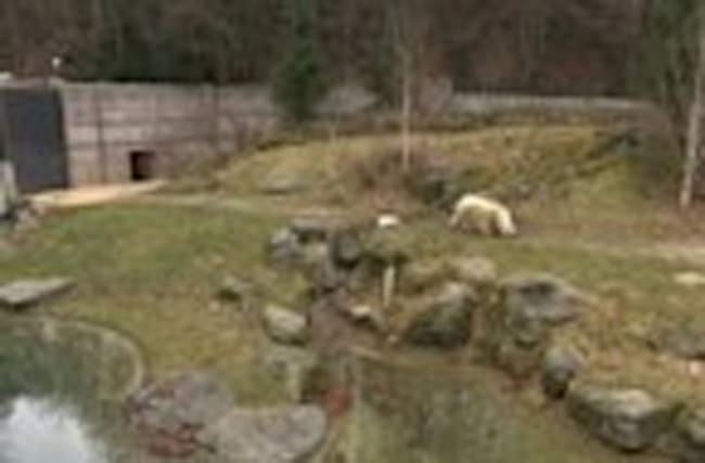 Polar bear cub's first outing in Munich animal park
