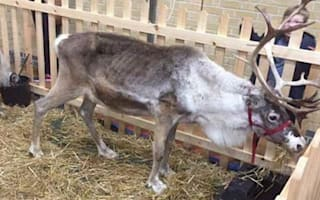 Skeletal reindeer spotted at Christmas event