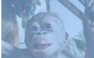 This baby orangutan was left to die in a cardboard box
