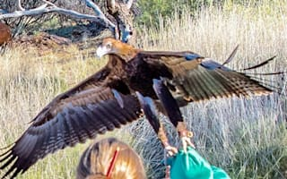 Huge eagle tries to fly away with boy at Australian wildlife show