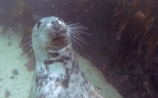 Seal gets a belly rub from divers in Farne Islands (cute video)