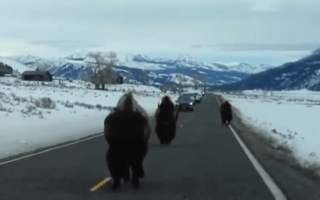 Angry bison has brilliant comic timing