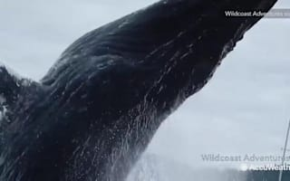 Whale's amazing breach right next to kayakers