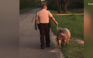 Warm-hearted police officer walks lost pig home