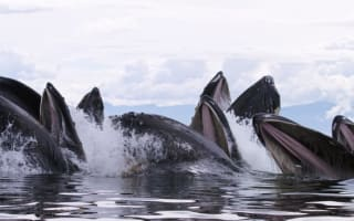 Humpback whales in feeding frenzy (amazing pictures)