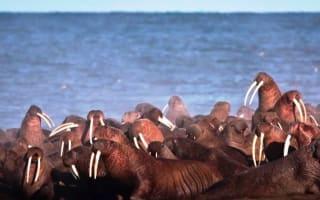 Walruses invade town in Alaska