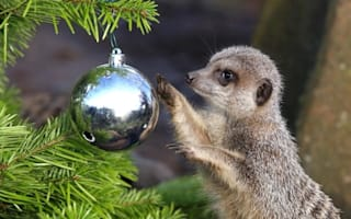Stocking up for Christmas! Meerkats and lions get early gifts