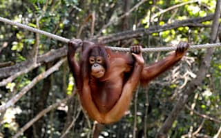 Orangutan rescued by charity after being tied up by villagers in Borneo