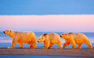 Beautiful pictures as polar bear and cubs enjoy sunset in Alaska
