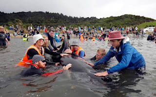 Hundreds of whales refloated in New Zealand mass stranding